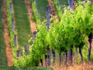 Vineyard-Rows